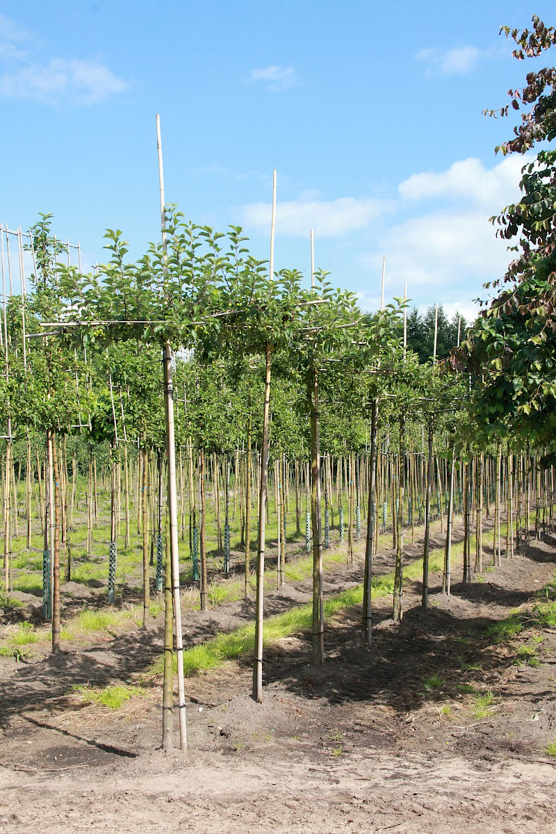 Malus Evereste Dach