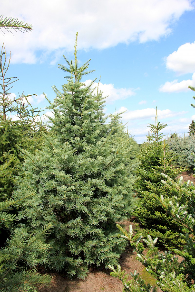 Abies concolor